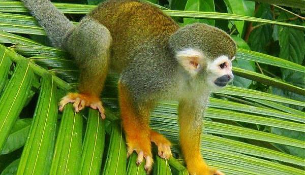 PZ5V Суринам