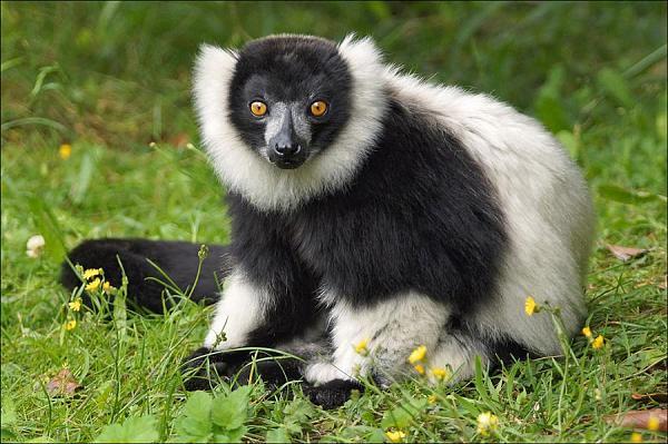 Остров Мадагаскар 5R8UP Черно-белый лемур Вари.