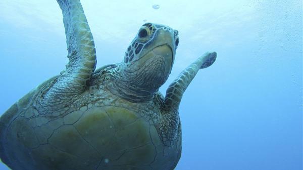 Остров Корор T88GA Зеленая черепаха.