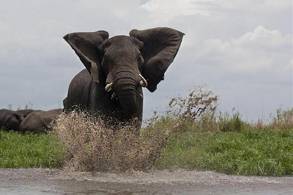 7Q7JK Слон, Национальный парк Ливонде, Малави.