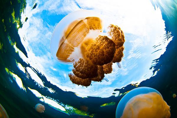 Палау T88TJ Медуза Озеро медуз