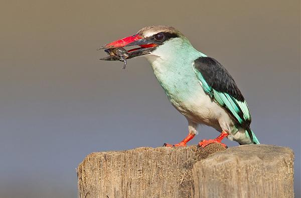 C56RU Голубогрудый зимородок, Гамбия.