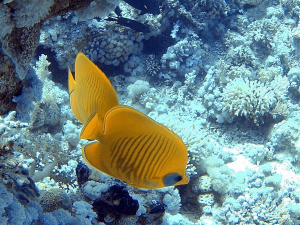SU8X Золотая рыбка бабочка, Тиран, Шарм эль Шейх, Египет