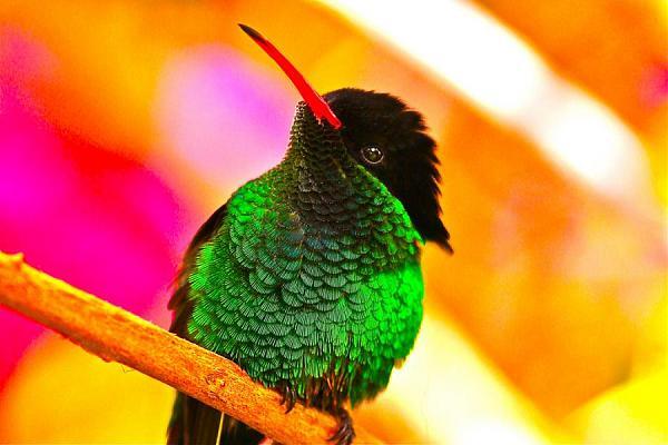 Ямайка 6Y5/DJ7CF Стример тейл Птица доктор Национальная птица Ямайки.