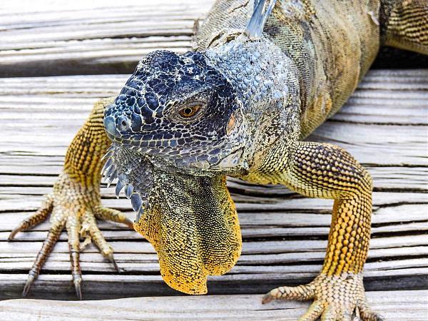ZF2ZE Голубая игуана, остров Большой Кайман, Каймановы острова