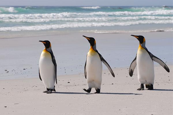 VP8JLL Королевские пингвины Волонтер Бич Фолклендские острова